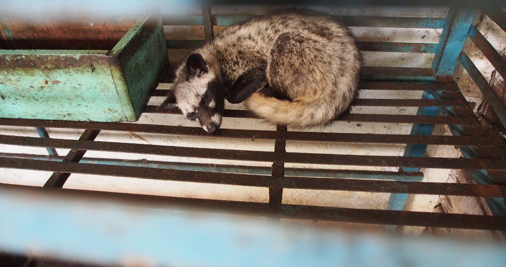 One of the weasels.  Probably knackered from eating and then excreting coffee beans.