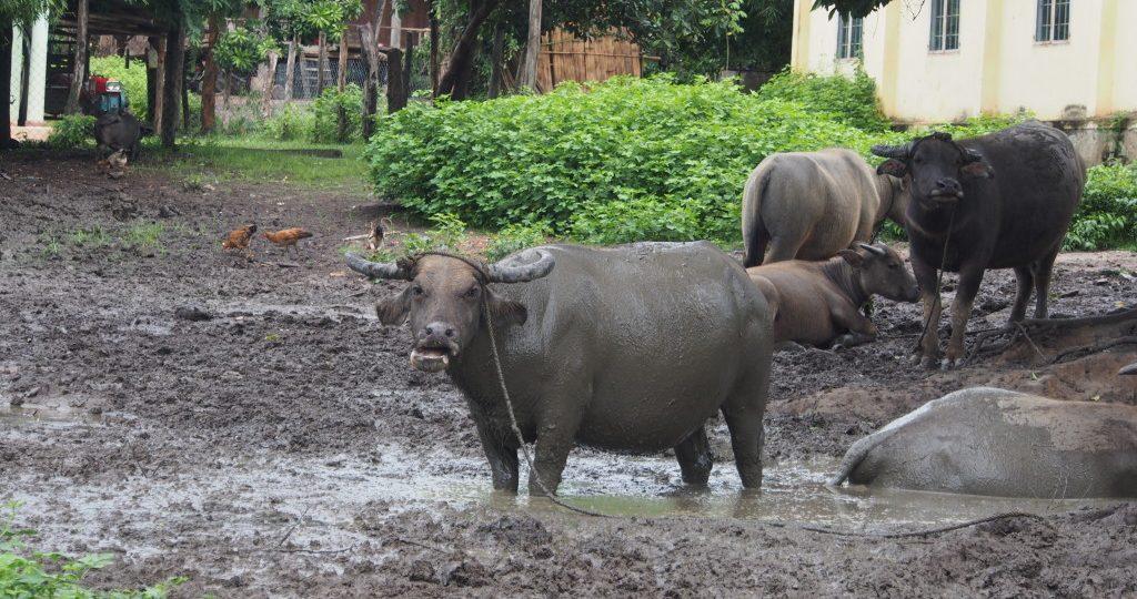 Water Buffalo staring us down